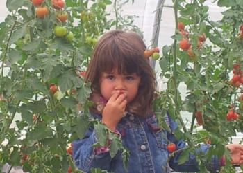 Kind pflückt und isst Tomaten von Erdbeerland Ernst & Funck