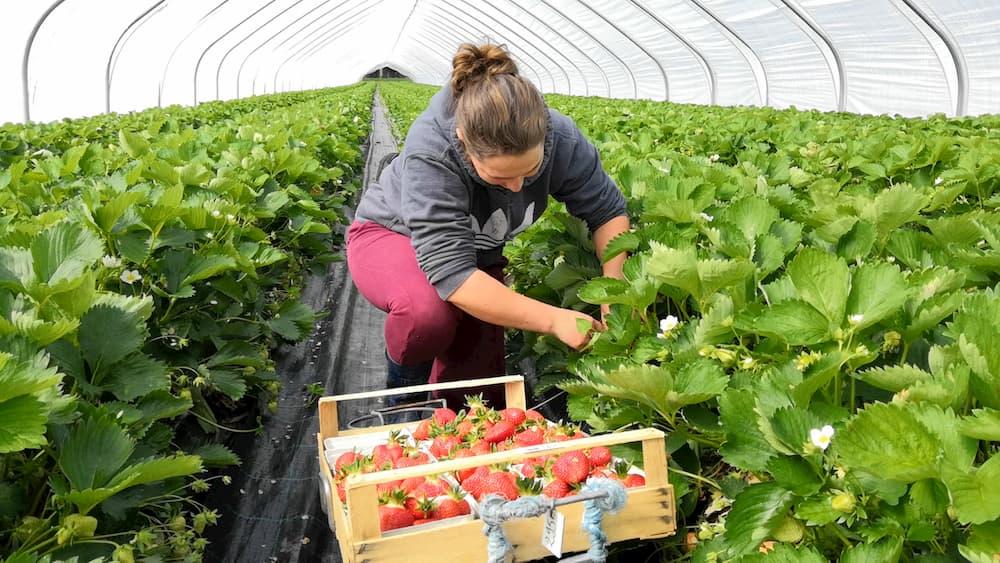 Mitarbeiterin pflückt reife Erdbeeren in einem Erdbeertunnel von Erdbeerland Ernst & Funck