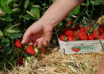 Erdbeeren werden frisch gepflückt von Erdbeerland Ernst & Funck