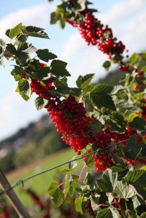 Rote Johannisbeeren an Strauch von Erdbeerland Ernst & Funck bei schönem Wetter