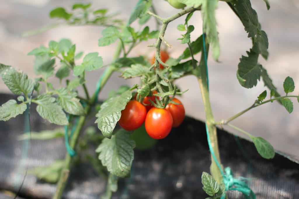 Tomaten Cocktailtomaten Kleine Tomaten an Tomatengewächs von Erdbeerland Ernst & Funck