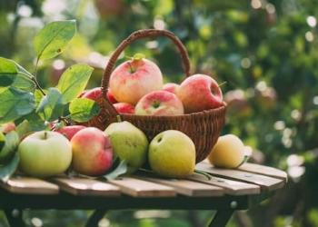 Äpfel in einem Korb im garten auf feld von Erdbeerland Ernst & Funck