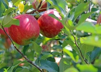 Äpfel an Baum von Erdbeerland Ernst & Funck auf Apfelbaumfeld