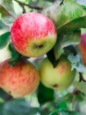 Bild von roten äpfeln an einem Apfelbaum von Erdbeerland Ernst & Funck