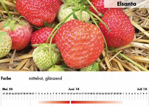 Erdbeersorte Elsanta im Saarland