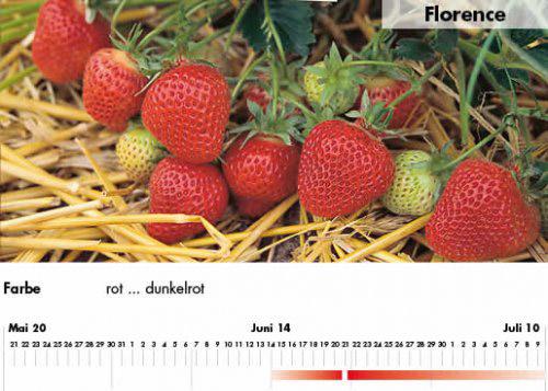 Erdbeersorte Florence im Saarland