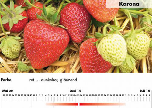 Erdbeersorte Korona im Saarland