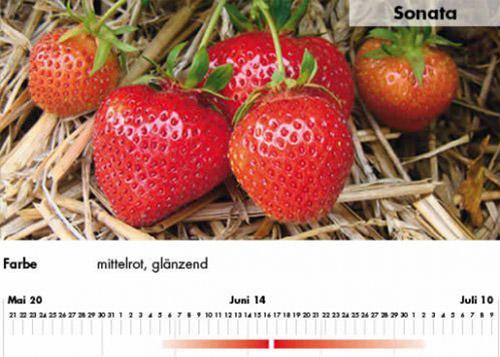 Erdbeersorte Sonata im Saarland